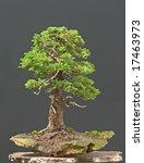 spruce bonsai | Shutterstock . vector #17463973