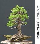 spruce bonsai | Shutterstock . vector #17463979