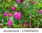Pink Flower Blooming In The...