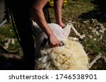 Small photo of Sheep shearing wool with a clipper on a texelaar x swifter