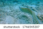 UNDERWATER, CLOSE UP: Breathtaking spotted muraena swims along the rocky ocean floor. Stunning tropical eel slithers along the sea bed, looking for food. Exotic muraena in its natural environment. - stock photo