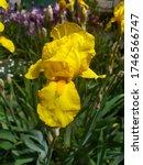 "Beautiful Spring Iris ""german..."