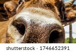 Brown Curious Cow Holds Its We...