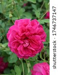 """Small photo of Pink rose, grade """"Darcey bussell"""" in Moscow garden. Buds, inflorescences of flower closeup. Summer nature. Postcard with rose. Roses blooming. Summer blossom. Macro photo of purple, red rose flower"""