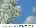 White Flowers With Long Stamens ...