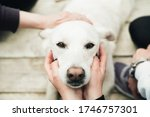 A white labrador sits on a wooden floor and people around dog caress the head. Close-up. Dog is a friend of man. Trust and friendship - stock photo
