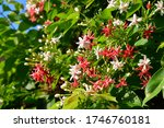 Small photo of Quisqualis indica also known as Chinese honey buckshot, Rangoon Creeper and Combretum indicum