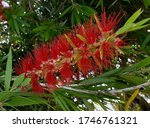 Callistemon aka Bottlebrushes is a genus of shrubs in the family Myrtaceae, first described as a genus in 1814. The entire genus is endemic to Australia.