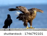 White Tailed Eagle And Raven....