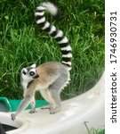 Lemur Catta Is Primate Endemic...