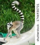 Lemur Catta In The Tropical...