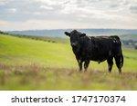 Beautiful cattle in australia ...