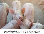 Group Of Pig That Looks Health...