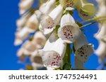 A Foxglove Digitalis Flower...