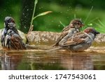 Sparrows Bathe In The Water Of...