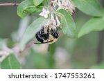 Bumblebee On Autumn Olive...