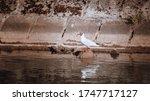 Bird   Laughing Seagull   Gull...