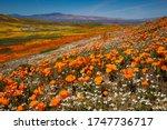 California Iconic Poppy Field ...
