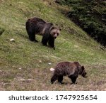Two Brown Bears Descend From...