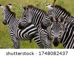 A Small Family Group Of Zebra...