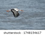 The white stork (Ciconia ciconia), flying with widely spread wings above a river. Blue sky. In the Netherlands, Europe. - stock photo