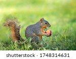 Squirrel  Sciurus Niger  Mouth...