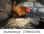 A Red Laying Hen Watches After...
