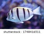 White Fish With Black Stripes....