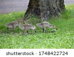 Three Goslings Pecking For Food ...