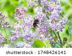 A Bumblebee Pollinates Flowers...