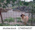 Docile Guard Dog Behind Fence...