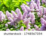 Lilac Flowers Bush In Summer....