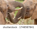 Two Elephants greeting each other by smelling their mouths Samburu Kenya