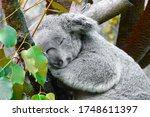 Cute Koala Bear Is Sleeping On...