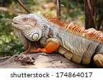 Close Up Iguana Standing On The ...