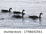 Four Canadian Geese Swimming In ...