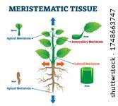 meristematic tissue vector... | Shutterstock .eps vector #1748663747