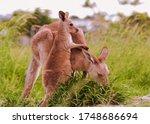 Mother Eastern Grey Kangaroo...