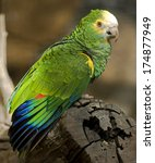 Small photo of Festive amazon parrot. Latin name - Amazona festiva bodini