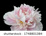 Isolated Single Pink White...
