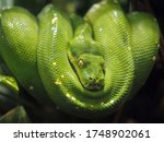 A Dangerous Green Python Closeup
