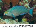 Small photo of Queen parrotfish, blownose, blue chub, blue parrotfish, blueman, joblin crow parrot, moontail, okra peji or slimy head (Scarus vetula) Bonaire, Leeward Islands