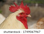 Portrait Of White Rooster On...