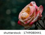 rose covered with drops of... | Shutterstock . vector #1749080441