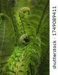 Curl Fern In Wild Forest