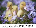 Three Little Yellow Ducklings...
