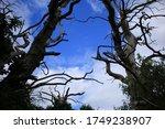 Dead Elm Tree Trunks In Shadow. ...