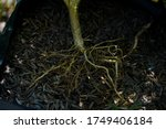 Root Of Plant And Tea Organic...