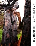 Charred Old Tree In The...