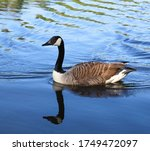 A Beautiful Canada Goose...